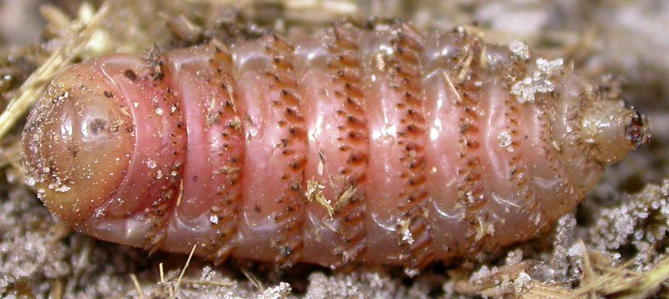 Bot fly trypophobia
